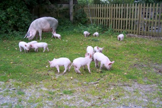 New Forest Pis & piglets