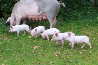 New Forest piglets