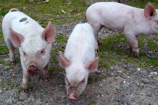 New Forest 3 little pigs