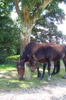 New Forest Ponies having a mutual munch together