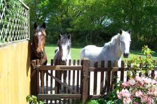 New Forest ponies at my gate.