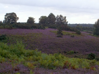 New Forest heathland heather