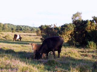 New Forest cow with new born calf peeping out at me