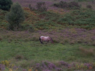 New Forest Mare in a bog