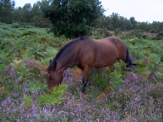 New Forest old bay gelding having lunch
