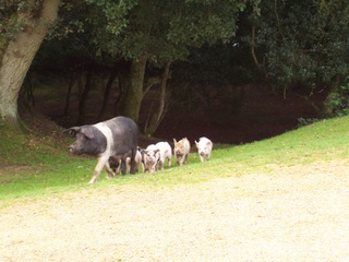 New Forest pig and piglets out for a stroll