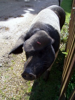 New Forest pig outside my gate
