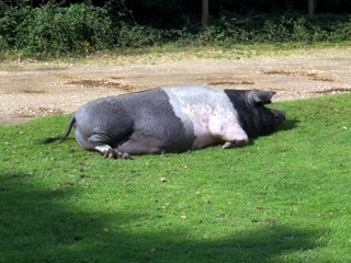 New Forest pig relaxing at lunchtime