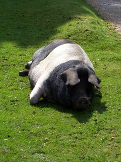 New Forest Pig - sadly no more, this one had to go