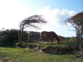 New Forest windswept ponies at the seaside