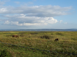 New Forest ponies with Isle of Wight in background near the sea