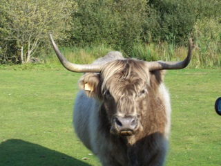 New Forest cow Highland bree