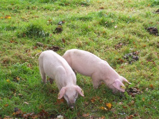 New Forest Piglets out for pannage