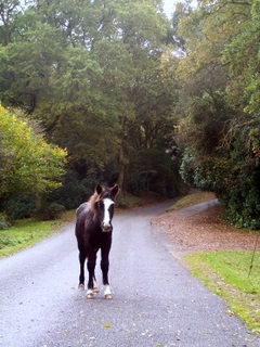 New Forest foal in road