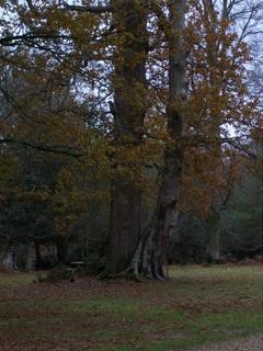 New Forest Knightwood Oak Tree