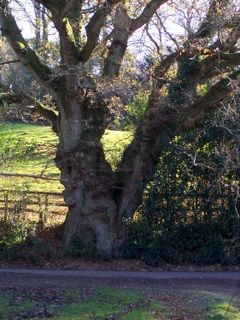 New Forest Oak at Hale Perlieu