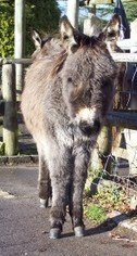 New Forest donkey foal waiting outside the pub!