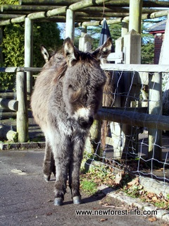 New Forest Donkey outside Foresters Arms Pub