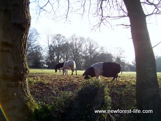 New Forest Pigs & ponies