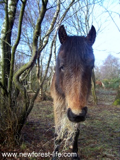 New Forest pony having a treat of hay