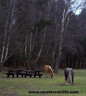 New Forest Roundhills pony picnic area