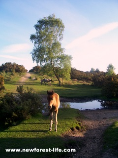 New Forest foal by our stream