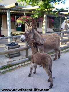 New Forest Donkey & foal
