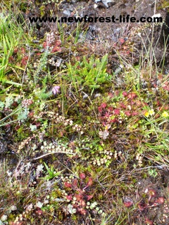 New Forest bog plants
