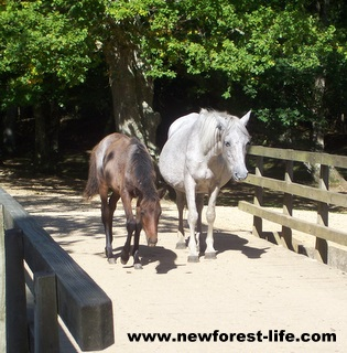 New Forest Ponies on Oberwater Bridge