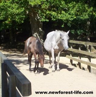 New Forest Ponies on Oberwater Bridge