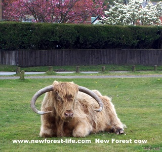 New Forest Longhorned Cow