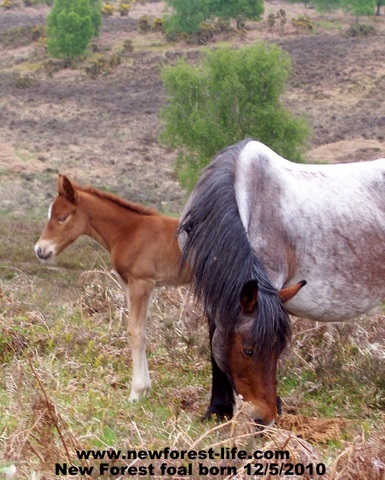 New Forest Foal with its mum (Roani)