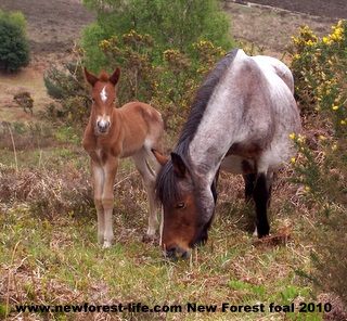 New Forest Roanie & Foal again