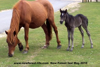 New Forest foal 2