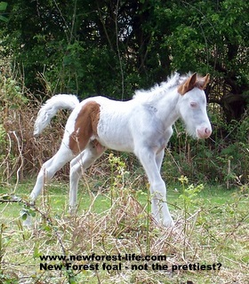 New Forest white foal at Roundhills