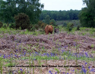 New Forest foal amongst the bluebells
