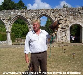 New Forest Beaulieu Harris Hawk Display