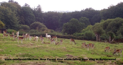 New Forest Fallow deer at Bolderwood