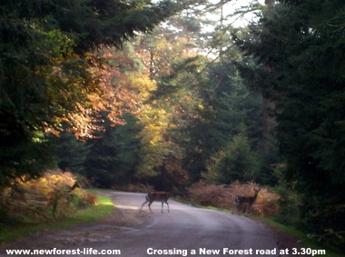 New Forest Deer crossing the road in the autumn sun
