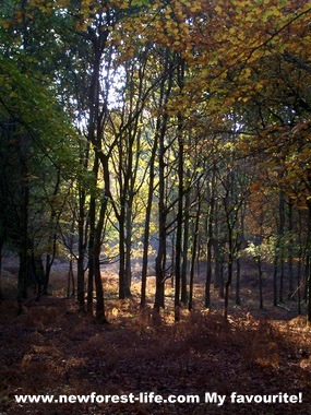 New Forest Autumn scene