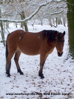 New Forest pony in a hard winter