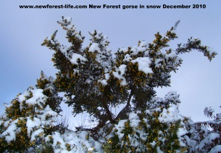 New Forest snow covered gorse