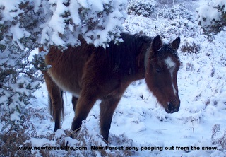 New Forest Pony in the gorse