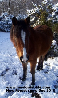 New Forest Pony - our friend Pepsi