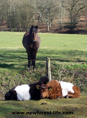 New Forest calves & pony at Moyles Court