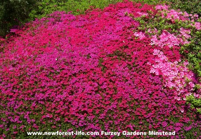 New Forest Furzey Gardens Red Azaleas