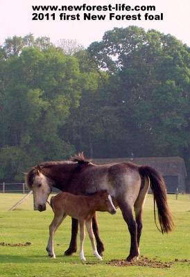 New Forest mum & foal Woodgreen 2011