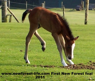 New Forest foal at Woodgreen 2011