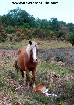 New Forest foal catching a bit of sun with its mum 2011