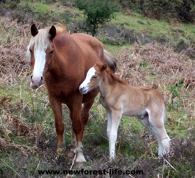 New Forest foal born early May 2011